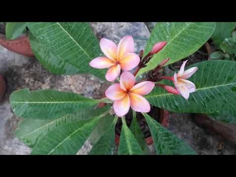 48 For Beginners आस न स लग Plumeria च प Chafa Gulchin Frangipani Care Tips Youtube In 2020 Hardy Plants Plumeria Frangipani