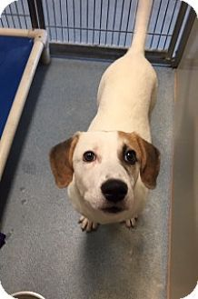 Joplin, MO - Hound (Unknown Type) Mix. Meet Bruno 86201, a dog for adoption. http://www.adoptapet.com/pet/12988593-joplin-missouri-hound-unknown-type-mix
