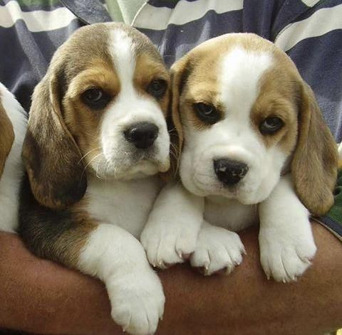 Image By Linda Sheridan On Everything Beagle In 2020 Beagle Dog Puppies Cute Beagles Cute Dogs