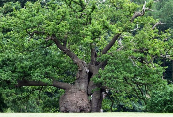 #Ancient Veteran #uercus robur at Hatfield Park #sculptural English #Oak