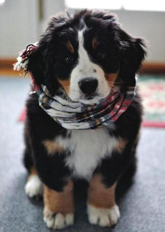 This stylish fellow who is totally prepared for winter. | Community Post: 19 Bernese Mountain Puppies Who Just Want To Make Your Day Better