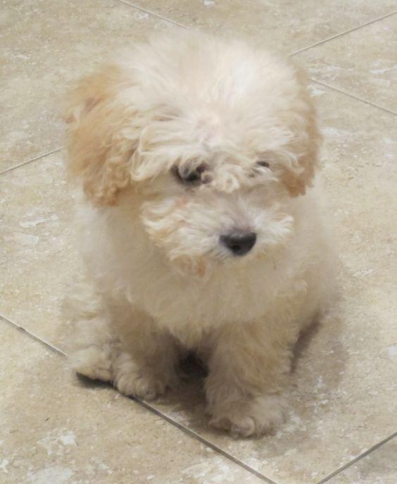 Maltapoo Maltese Poodle Mix Dog Mixes Maltese Poodle