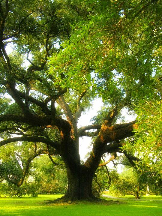 """Résultat de recherche d'images pour """"oak trees shade"""""""
