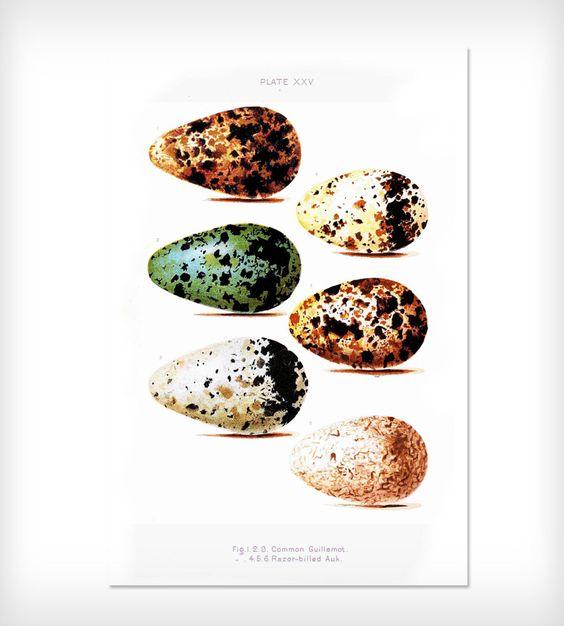 Vintage Science Print - Bird Egg Diagram Plate | Vintage, Plates ...