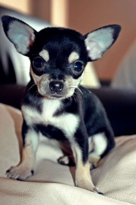 high chihuahua pinterest the world s catalog of ideas 4493