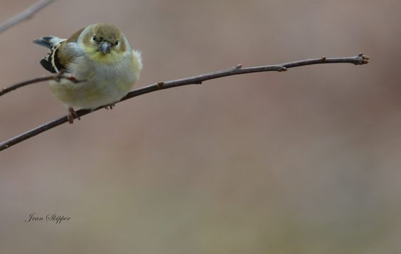 A Goldfinch in his winter attire.  Our Favorite Facebook Photos: 12/12/14 - BlueRidgeCountry.com