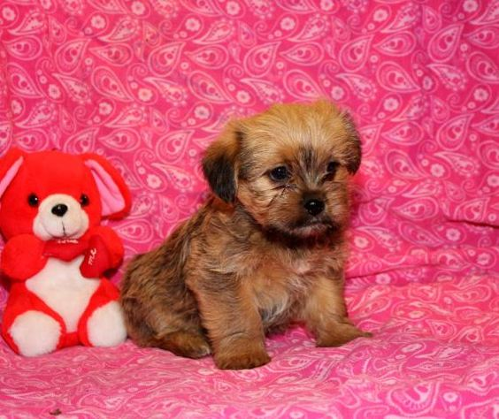 teacup shih tzu puppies for sale in ohio shorkie puppy for sale shorkie pinterest puppies