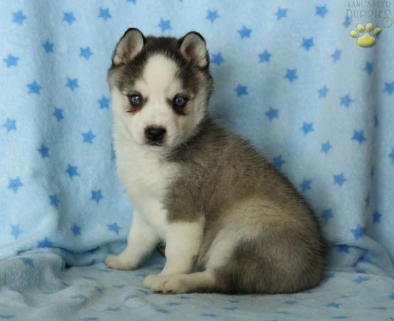 Xavier Alaskan Klee Kai Puppy For Sale In Belleville Pa