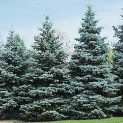 Colorado Blue Spruce Tree, LOVE! Planted 27 of these babies...now hopefully I can keep them alive to look like this!