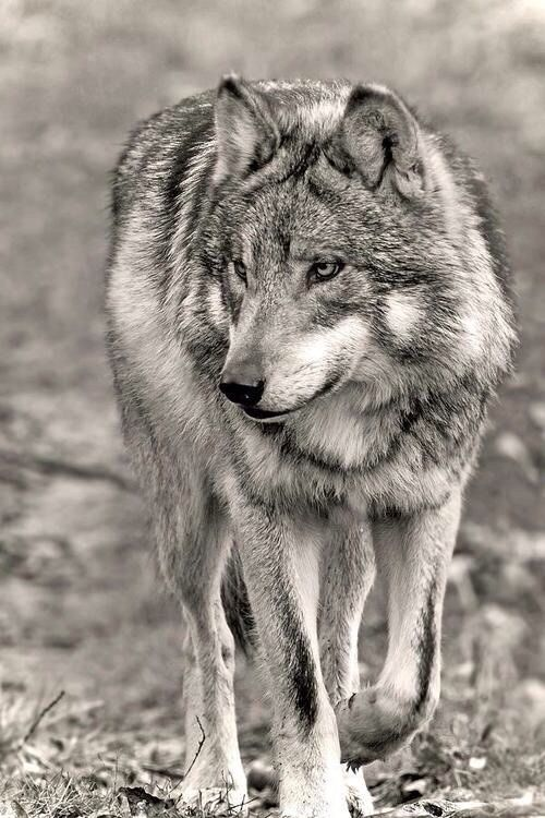 ".""The other wolves would devour me if they knew my roar is, in reality, a cry."" Octavian Paler"