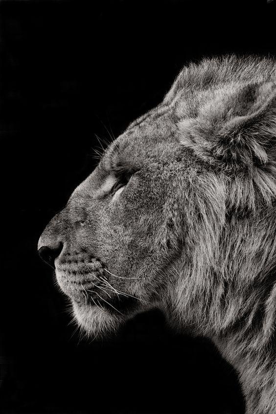 Ra Lion by Nathan Schepker. S)