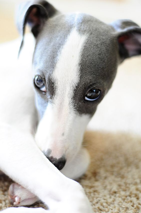 An Italian Greyhound with the sweetest expression!  That's why you have to pick them up and smother them with kisses.