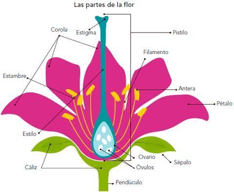 Las Flores Son Organos Reproductores De Las Plantas Superiores Y En Unprofesor Com Vamos A E Partes De La Flor Partes De La Misa Caracteristicas De Las Plantas