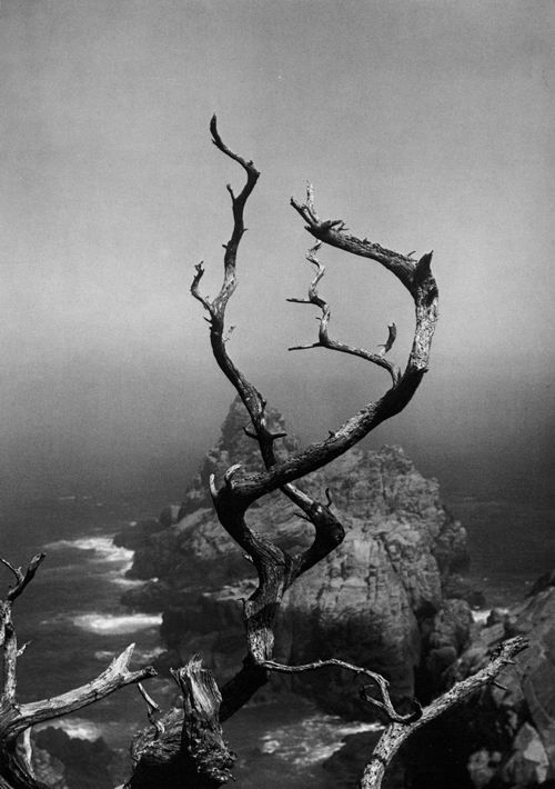 Is it just me or does this remind you of the tree at the top of the hill in Castaway with Tom Hanks?      Minor White  Twisted Tree, Point Lobos, 1961