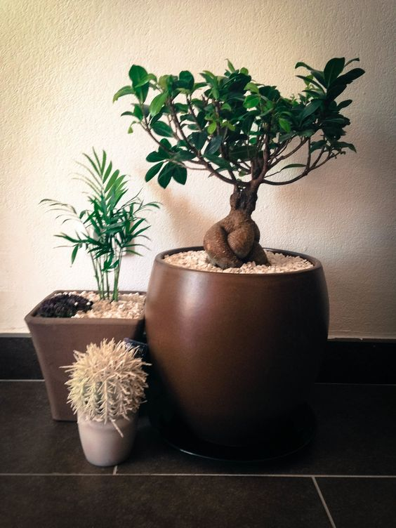 interior garden cactus and ginseng tree ficus bonsai little_garden bonsai tree interior
