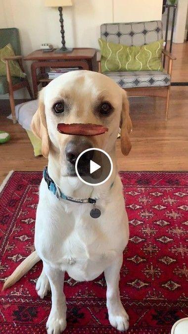 coloca um pedaço de comida no nariz do cachorro e ele come