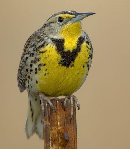 Western Meadowlark - State Bird of Oregon | I