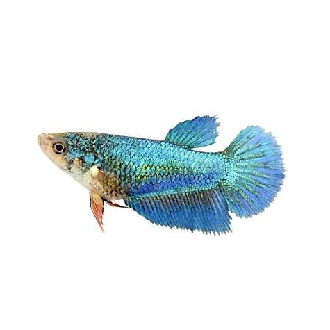 Female Halfmoon Betta Extra Large Siamese Fighting Fish Petco Halfmoon Betta Betta Siamese Fighting Fish