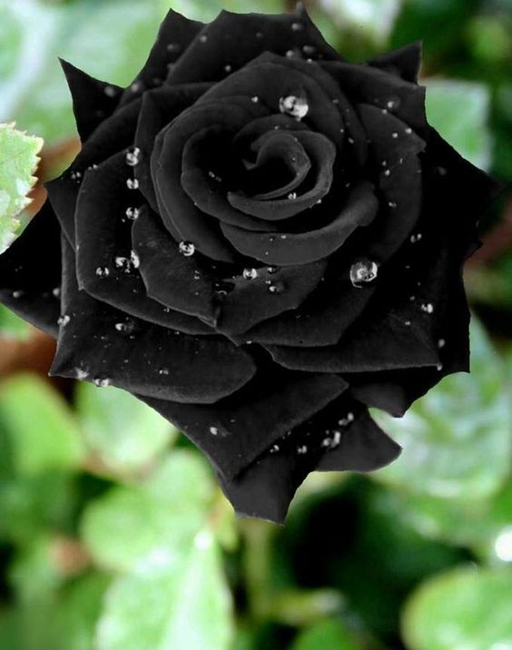 Pin On The Queen Of Flowers The Rose