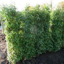 Portugal Laurel Hedging Plants  - for hedge?