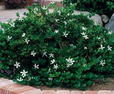 Carissa holly low growing spreading shrub form with for Low growing flowering shrubs