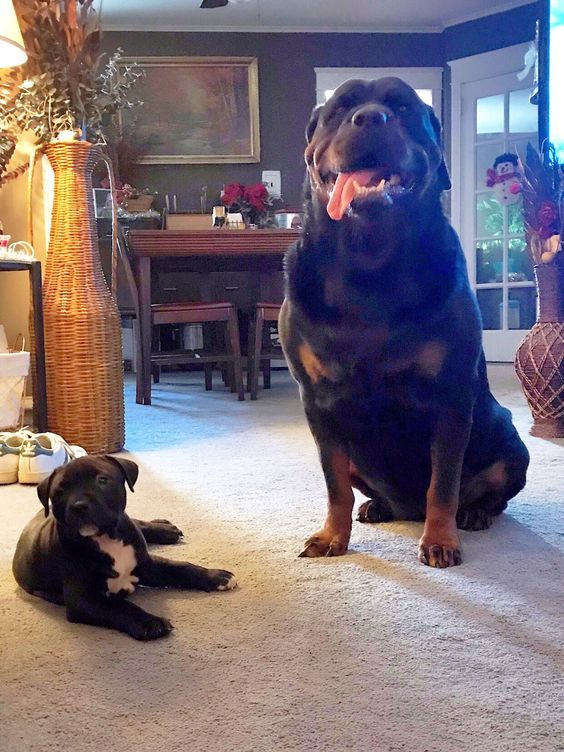 Pin By Suzan Rodriguez On Rottweiler Rottweiler Rottweiler Dog