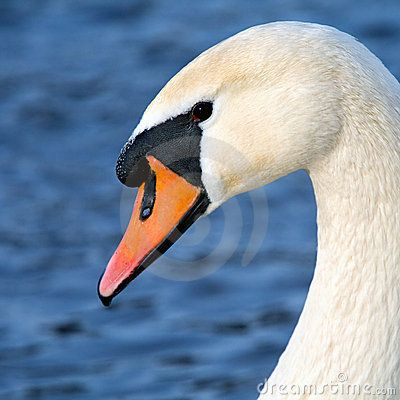 Art portrait of a swan in square composition