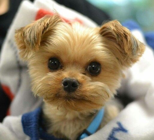 Yorkie Cute Puppies Cute Animals Puppies