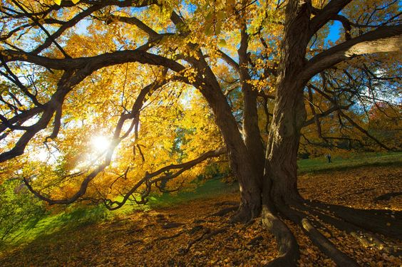 The Katsura tree on the edge of Highland Botanical Park just before sunset by Marie D. De Jesús (Oct. 21, 2012)
