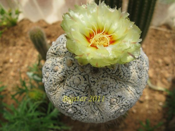 astrophytum asterias cv. super kabuto kikko