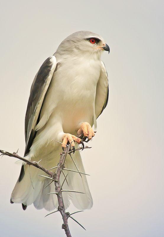 The Black-shouldered Kite (elanus axillaris), Australia.