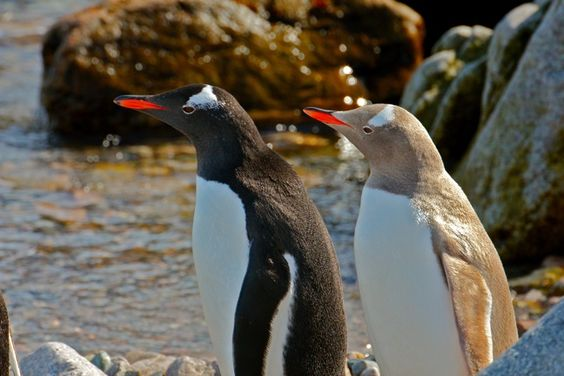 An Extremely Rare Albino Gentoo  Penguin. The Albino Penguin Dares To Be Different! :)