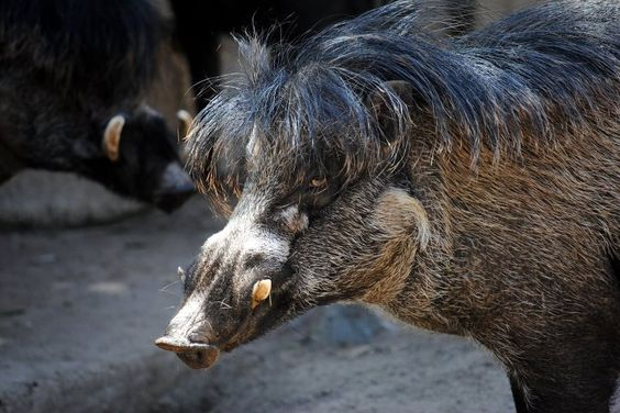 Visayan warty pigs have rockin' toupees. Photo by Constance Gillean