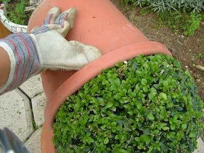 Buchskugel Buxus Buchsbaum schneiden
