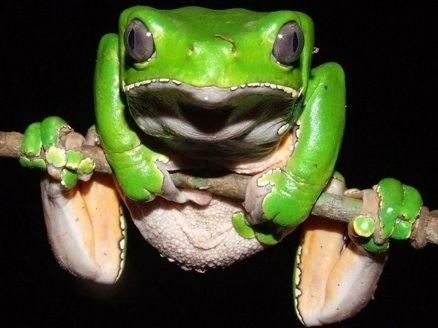 [Kambo Frog]