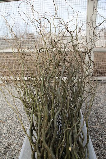 Pussy Willow Propagation 119
