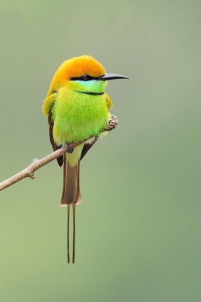 The colors make me feel good. The tail and the black beak and markings amaze me.  An Australian Rainbow Bee-eater
