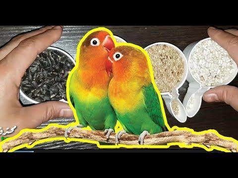 ماهي البذور التي تأكلها طيور الغندور الفيشر والروز Parrot Birds Animals