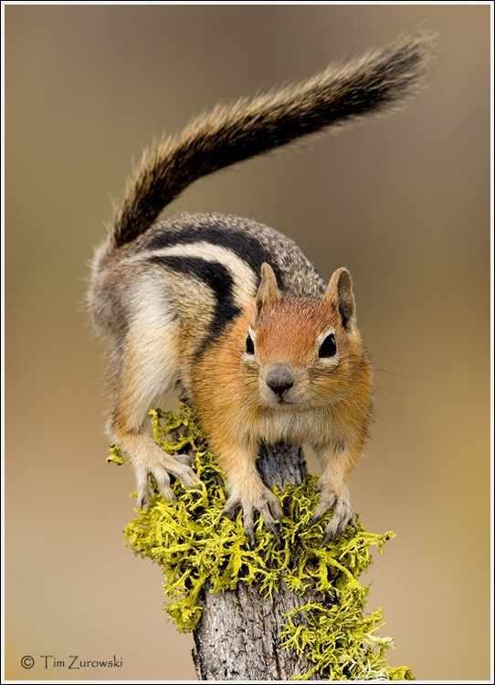 Golden-mantled Ground Squirrel: