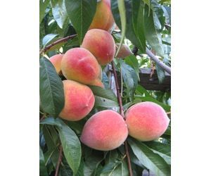 How to grow peach trees in texas trees the o 39 jays and the tree - Fruit trees every type weather area ...