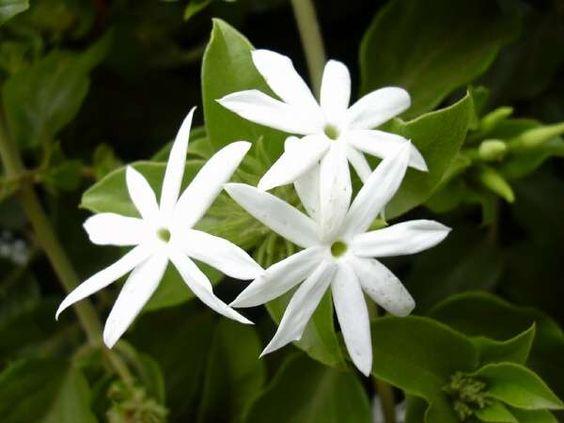 KERALA FLORA: jasmine (Jasminum multiflorum, star jasmine)