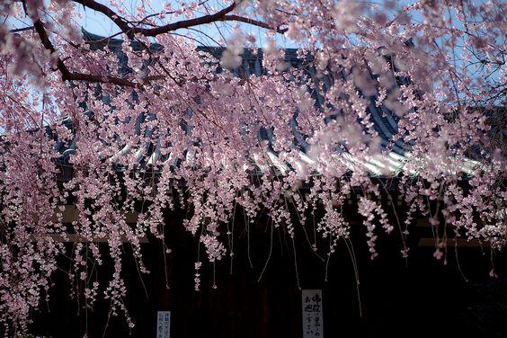 https://flic.kr/p/9vYTR2 | 枝垂れ桜 in 金剛寺