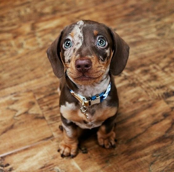 Do You Like Dachshund Puppies Follow Us And Save This Pic On Your
