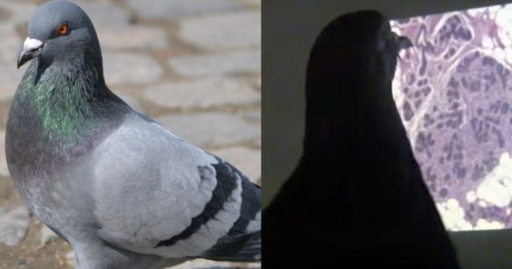 Recently, Experts Discovered That Pigeons Can Detect Cancer As Well As We Can