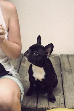 adorable little frenchie