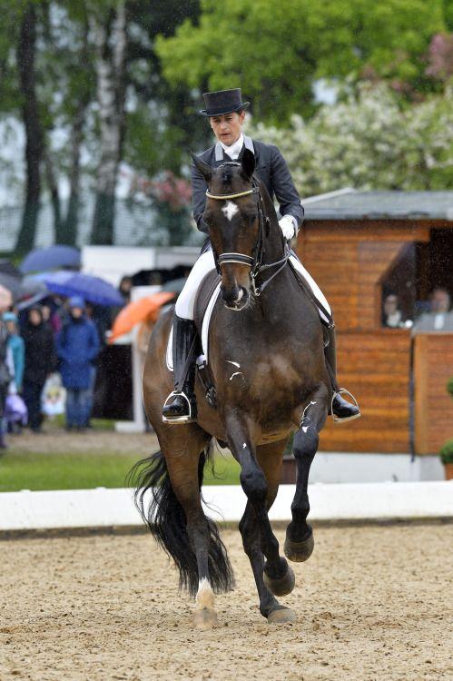 equine-world:  Don Auriello「Don Davidoff x Wey O Mey」Hanoverian Gelding: