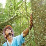 Pesquisa mostra quais as espécies de madeira da Amazônia podem ser usadas na indústria