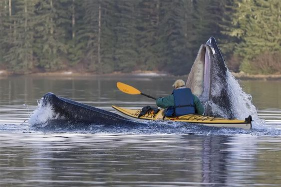 Alaska... one in a billion photo  The photo was taken at the entrance to Katlian Bay at the end of the road in Sitka , Alaska .  The whale is coming up to scoop up a mouthful of herring. The kayaker is a local Sitka Dentist. He apparently didn't sustain any injuries from the terrifying experience.  The whale's mouth is fully open with the bottom half under the boat. Look at the picture again - He is in the whale's MOUTH!  by Mark Tennant.