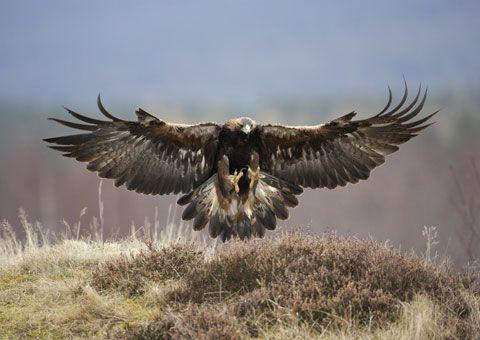 Golden Eagle ( In Celtic Beliefs - A Golden Eagle Represents Spirituality ). ..