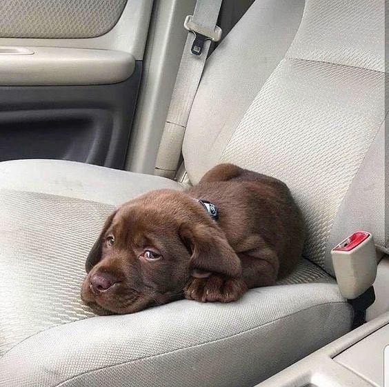 Pin On Labrador Retriever Puppies